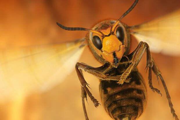 Почему осы становятся летом агрессивными