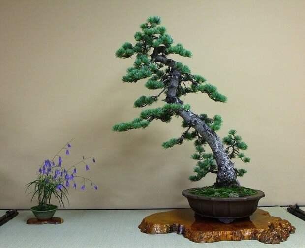 Композиции бонсай насчитывают более 30-ти стилей. Вот некоторые из них Ну разве они не чудесны?...