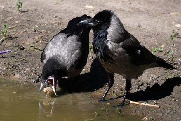 Убедилась, что ворона очень умна. Подсмотрела чему она учит своего отпрыска
