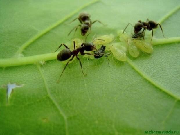Пищевая сода - средство от муравьев в огороде
