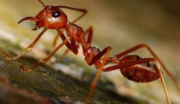 Огненные муравьи могут помочь в создании средства для отпугивания пауков