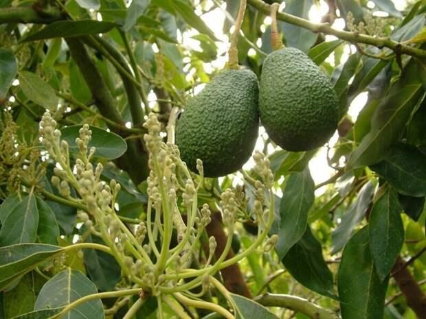 8 плодов, которые мы едим, но не знаем, как они растут