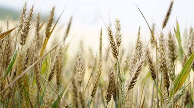 Экспортная цена выращенной в РФ пшеницы увеличилась