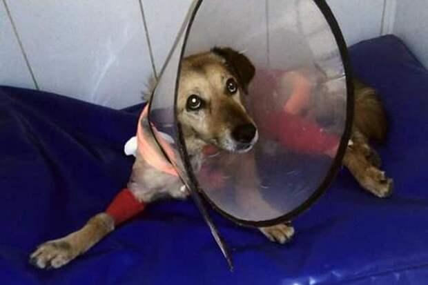 В Симферополе собирают деньги для оплаты лечения пса с перерезанным горлом