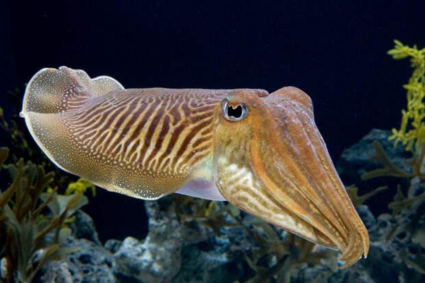 Каракатица (фото из открытых источников)