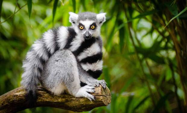 Кошачий лемур – непоседа с Мадагаскара.