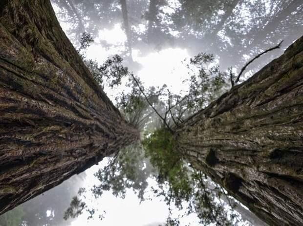 Гигантские секвойи оказались под угрозой из-за приближающихся лесных пожаров