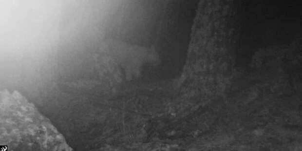 В Грузию вернулся редкий леопард