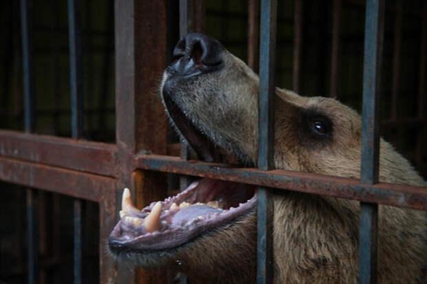 В Сочи застрелили медведей-убийц