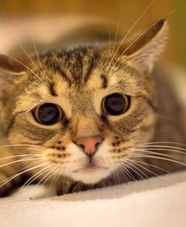 Кошка отображает охотничье или игровое поведение