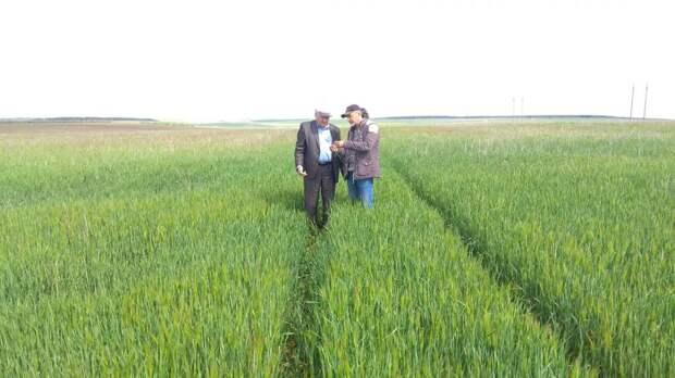 Состояние посевов зерновых культур на постоянном контроле
