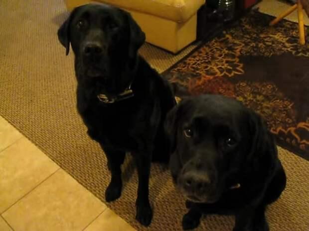 Пёс сдал свою сестру на краже печенья. Допрос лабрадоров заставит вас посмеяться