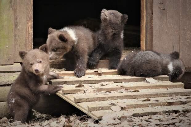 Маленькие жильцы Центра спасения медвежат-сирот переехали в домик-берлогу