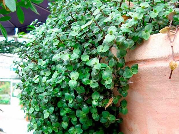 Комнатное растение Каллизия (Callisia)