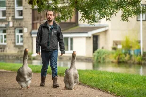 Англичанин завел гусей, как средство от тоски и одиночества