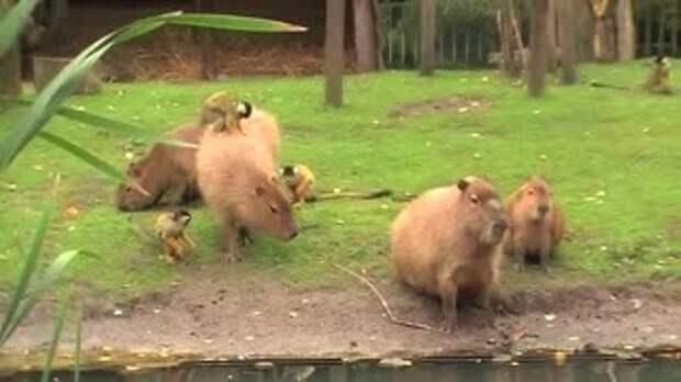 Дружба капибары и обезьян