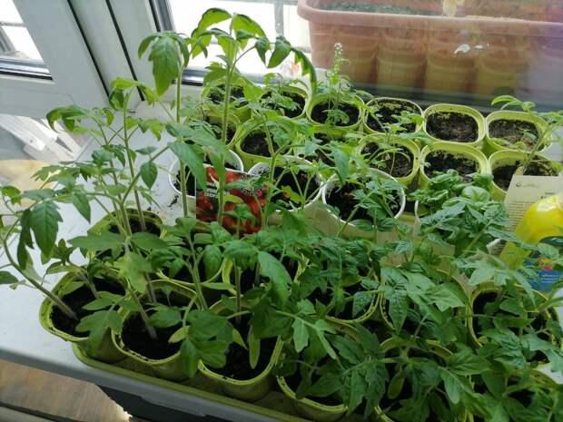 Когда высаживать рассаду помидоров в грунт — подскажет рябина