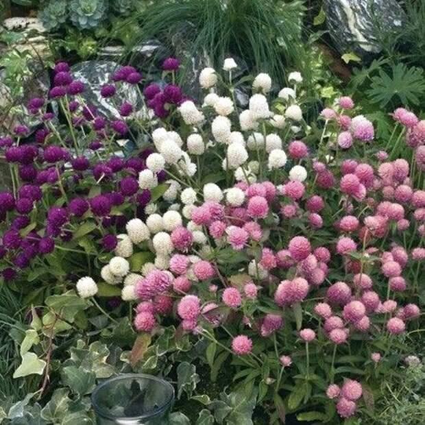 10 невероятно красивых однолетних цветов для вашей клумбы