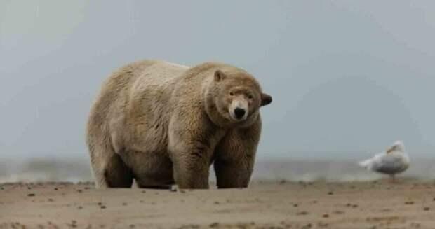 Алеуты раскормили полярного медведя по прозвищу «Толстяк Альберт»