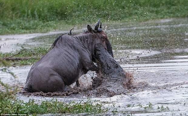 Невероятная схватка бегемота с крокодилом из-за антилопы гну животные, схватка