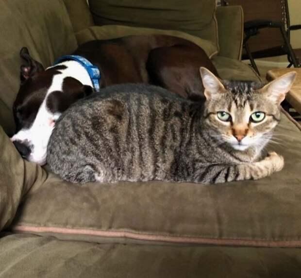 Питбуль живет среди котов, исчитает себя одним изних