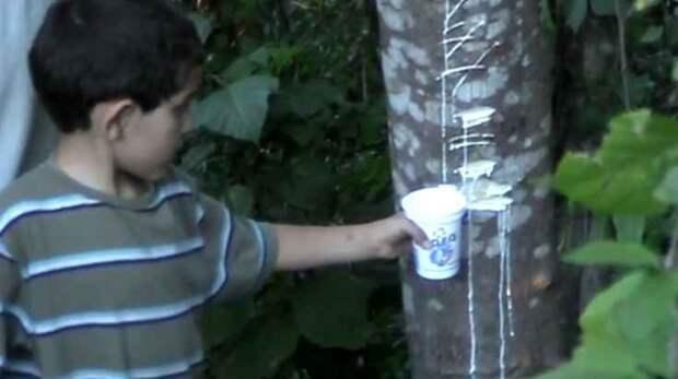 Молочное дерево Молочное дерево, галактодендрон, факты