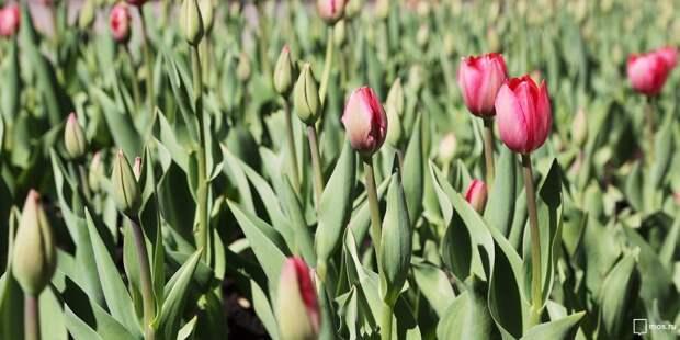 В Головинском началась высадка луковиц тюльпанов
