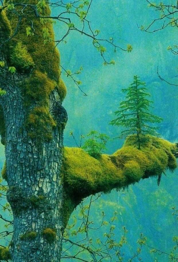 Ель растет на ветке дерева