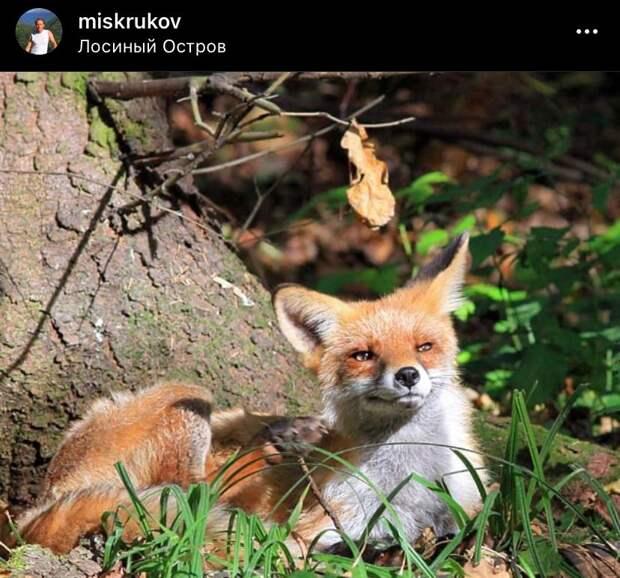 Фото дня: лиса греется на солнце в «Лосином острове»