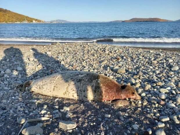 Мёртвый морской котик