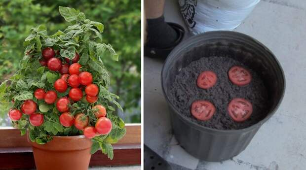 4121583_pomidorybalkonenovate7 (700x390, 91Kb)