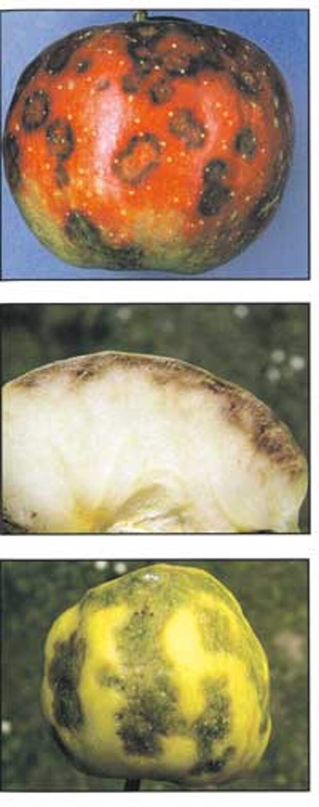Болезни яблок при хранении