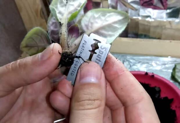 Этот способ поможет спасти фиалку с завядшими листьями в последний момент