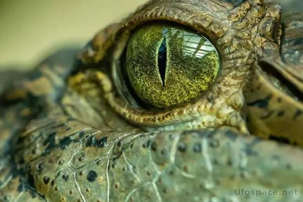 Ученые описали доисторического крокодила «короля болот»