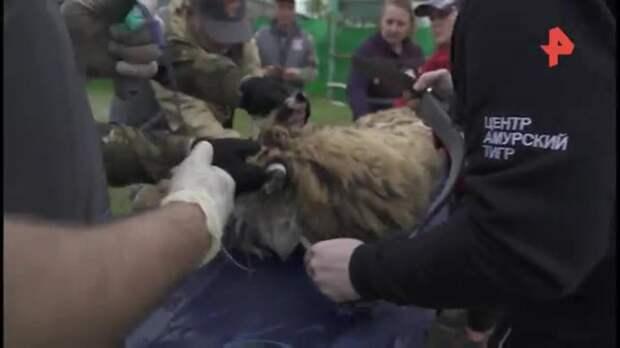 В Амурской области тигрицу Санду выпустили на волю после реабилитации