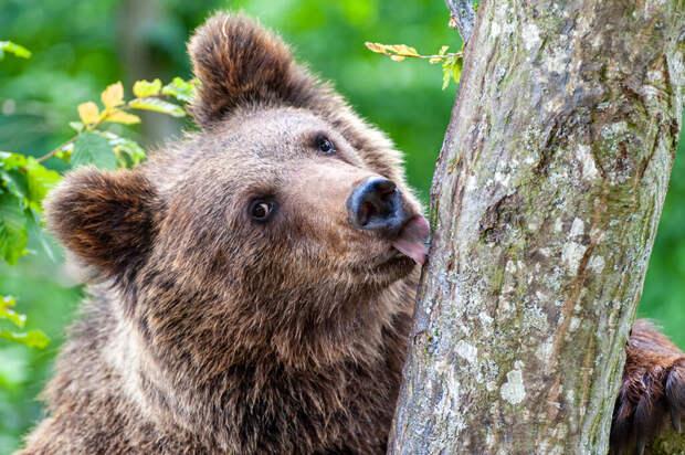 Медвежата в Латвии оставили депутата без урожая слив