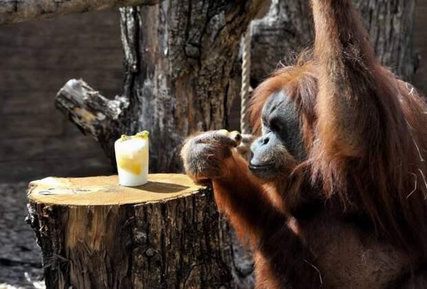 В римском зоопарке животных от жары спасают мороженым с мясом и рыбой
