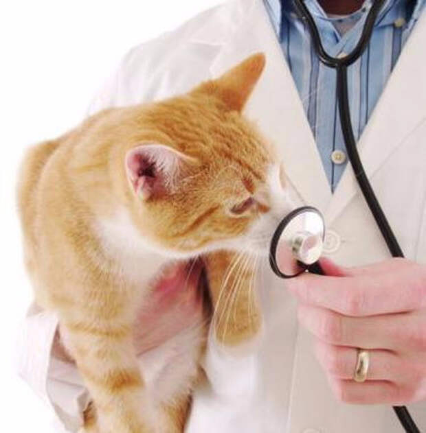 Токсоплазмоз у кошек: пути заражения, симптомы и лечение, профилактика