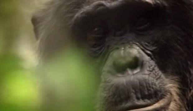 Новой способ лечения болезни Альцгеймера успешно опробовали на обезьянах