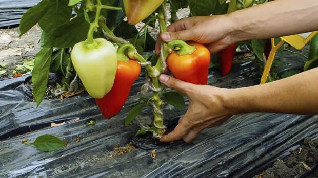 Как формировать перцы, чтобы плоды были крупными и сочными