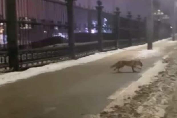 Видео дня: лиса прогуливалась возле Нижегородской ярмарки