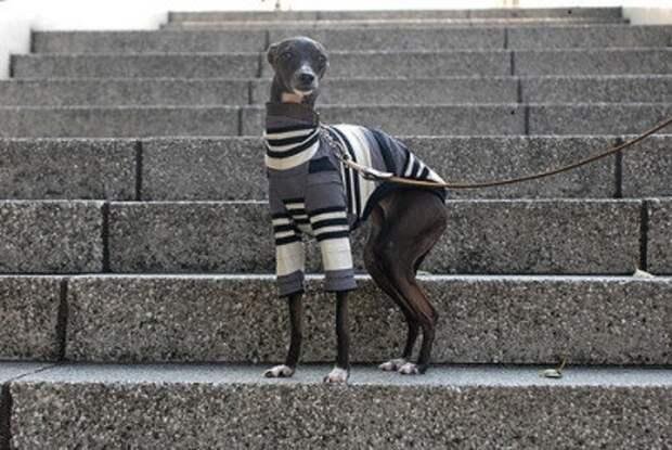 Грейхаунды - пожалуй, самая сексуальная порода среди всех собак. животные, милота, собаки