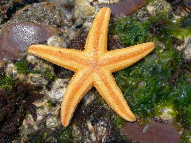 Амурская морская звезда животные, опасные животные, россия, факты, фауна, фауна России, ядовитые животные