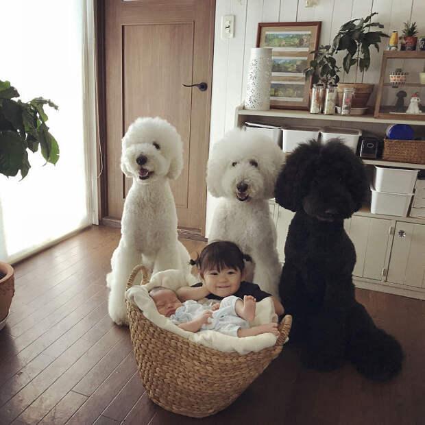 Японская семья доказывает, что нет для малыша лучше питомца, чем гигантский пудель