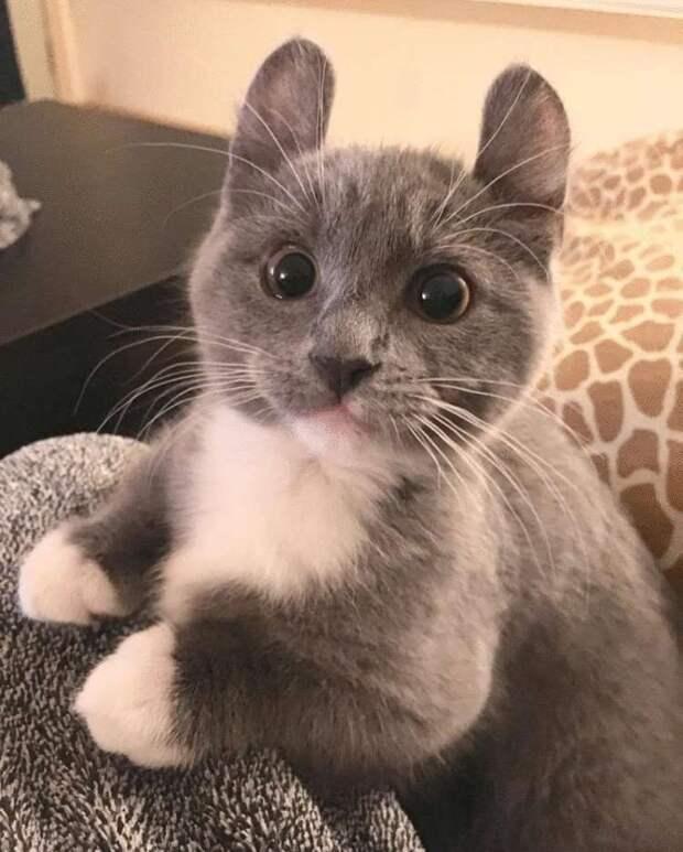 Топ-12 самых миниатюрных пород кошек в мире…