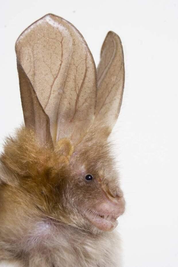 slit-nosed-bat