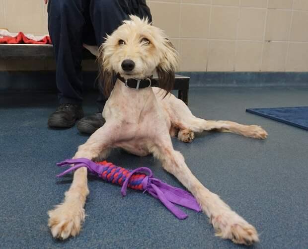 """Его поймали """"на воду""""! Бездомный тонколапый пёс лысел не по дням, а по часам – зато потом…"""