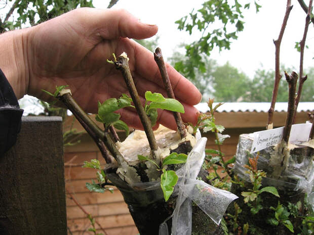 Как размножить боярышник: эффективные способы вырастить кустарник с полезными ягодами без финансовых затрат