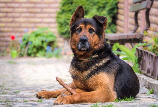 10 пород собак, модных в СССР, которые сейчас редко кто заводит