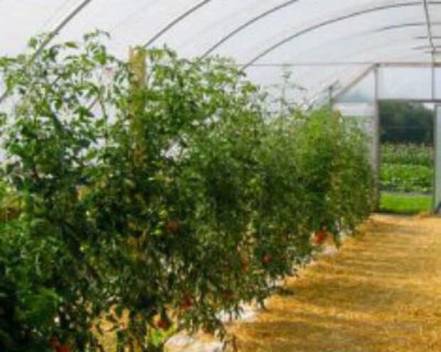 Как проводить мульчирование томатов в теплице, для чего и каким материалом